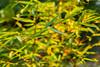 Bamboo bokeh (balu51) Tags: garten bambus morgenlicht morgensonne blätter grün gelb orange 60mm bokeh leaves bamboo garden green yellow golden 100xthe2016edition 100x2016 image73100 herbst oktober 2016 copyrightbybalu51