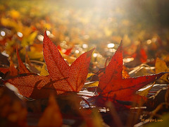 Red Leaves ... (MargoLuc) Tags: red leaves yellow warm golden light autumn meadow fallen november time backlight glow rays outdoor bokeh