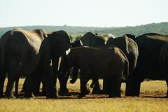 DSC03926 (Emily Hanley Photography) Tags: elephant elephants addo elephantpark nationalpark sa southafrica africa photography colour warthogs buffalo zebra waterhole rawimages raw nature naturalphotography animals animal