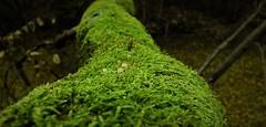 Mushrooms (ZzR0t) Tags: moss mushroom forest