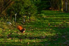 Curious squirrel (ChemiQ81) Tags: polska poland polen polish polsko chemiq  poljska polonia lengyelorszgban  polanya polija lenkija  plland pholainn   pologne puola poola pollando    jesie jesienny autumn podzim jura jurajskim szlakiem jurassic region jurajski wiewirka veverka squirrel