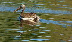 Great white pelican juvenile - Roze pelikaan jong (joeke pieters) Tags: 1300781 panasonicdmcfz150 rozepelikaan pelicanusonocrotalus greatwhitepelican vogel jong juvenile bird avifauna reflections