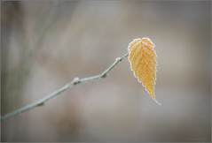 Last to Drop (mikeyp2000) Tags: crystal macro crystals leaf branch closeup frost twig a99ii ice