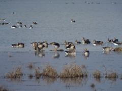 otros gansos (corbetapalentino) Tags: laguna de la nava