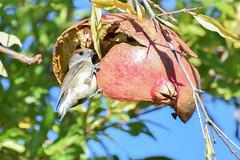 Capinera (ghiaccioazzurro) Tags: capinera lipu colazione birdwatching uccelli birds melograno xnaturaonlus