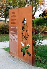 Petit-Quevilly - Jardin du Cloître - Arnica des Montagnes