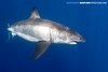 Great White Shark (Big Fish Expeditions) Tags: greatwhite whiteshark guadalupeisland cagediving greatwhiteshark