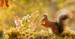squirrel of the light