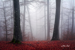 FOGGY (Anei Ionut Visuals) Tags: forest trees foggy fog leaves autumn outdoor nature landscape foggyforest