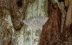 Crypsiphona ocultaria (dustaway) Tags: arthropoda insecta lepidoptera geometridae geometrinae crypsiphonaocultaria redlinedgeometrid australianmoths australianinsects goonellabah northernrivers nsw australia