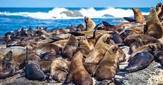 seal island (werner boehm *) Tags: wernerboehm houtbay capetown kapstadt seals seehunde