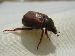 Hoplia Beetle (Abbey_L) Tags: iosaccount hoplia beetle chafer insect animal ourgarden