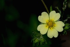 2016 Yellow Wildflower (DrLensCap) Tags: yellow wildflower weber spur trail abandoned union pacific railroad right way labagh woods chicago illinois il wild flower rails to trails cook county forest preserve district preserves robert kramer