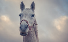 Horse-5270 (EbE_inspiration) Tags: horse nikon nikond7100 nature outdoor outside white d7100 sigma head look clouds
