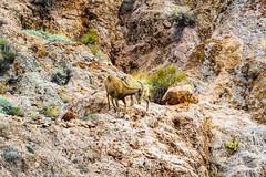 047-VOF160131_46500 (LDELD) Tags: nevada desert rugged dry harsh wild valleyoffire bighornsheep animal wildlife rocky
