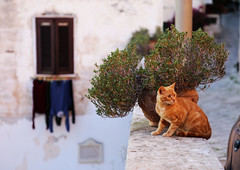 A cat in Oria (VoyagerX) Tags: cat gatto oria puglia italy italia