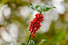 Acebo y bokeh (joseemiliogomez431) Tags: acebos arbustos arbustossilvestres bolas bolasrojas oseira plantas rojos silvestres