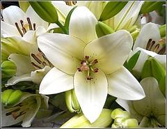 Lillies ... (** Janets Photos **) Tags: uk plants flora flowers lillies closeups