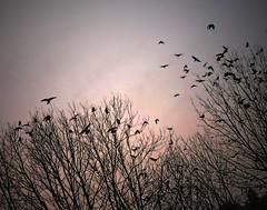 at sunset (krøllx) Tags: norway sandnes nature birds trees atmosphere sunset sundown color 1512270087