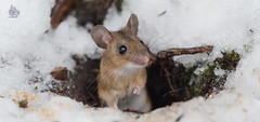_DSC5346 (gupta.steve) Tags: gelbhalsmaus maus nagetier sugetier natur winter schnee nikon tamron makro
