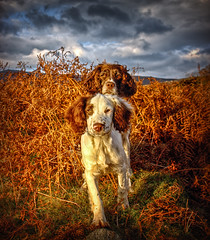 Spaniels-R-US ... Not Just For Xmas (Explored) (Missy Jussy) Tags: springerspaniel spaniel englishspringer notjustforchristmas dog animals dogportrait