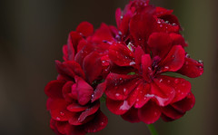 Rain Drops on Red Velvet (vbd) Tags: pentax k3 vbd smcpentaxda55300mmf458ed ct connecticut flower newengland red raindrops geranium waterdrops 2016 summer2016 handheld manualfocus trumbull