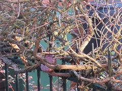 Saturday, 26th, Sunshine on the honeysuckle IMG_0340 (tomylees) Tags: essex morning autumn november 2016 26th saturday garden sunshine honeysuckle