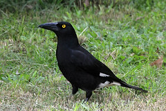 Stop looking at me! (aussiegypsy_off housesitting) Tags: pied currawong streperagraculina endemic large black racerobinsoni native bird birdlife wild wildlife territorial yellow eye beady verylarge beak bill strong forest woodland omnivorous opportunistic feeder noisy distinctive ringing call heavy common whitewingpatches australia australian aussie queensland farnorth fnq tnq athertontablelands laketinaroo park ontheground nature outdoors animal canopy oftensolitary