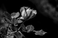 Rose B&W (Vctor M. G.) Tags: rose flower bn blackandwhite nature