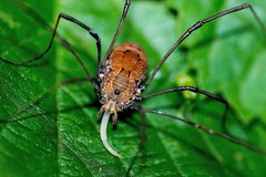 2016 Brown Daddy Long-legs Spider (Phalangium opilio) 6 (DrLensCap) Tags: brown daddy longlegs spider phalangium opilio weber spur trail labagh woods chicago illinois abandoned union pacific railroad right way il rails to trails cook county forest preserve district preserves robert kramer