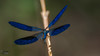 Calopteryx splendens - Banded demoiselle - Çizgili kızböceği (erkek) (omardaing) Tags: water flower blue animals closeup fly insect wildlife dragonfly bug mavi demoiselle doğa böcek calopteryx splendens pentax k10d kızböceği