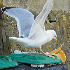 Sky Rat's Meal! ('cosmicgirl1960') Tags: food green bird cornwall box gull chips bin looe yabbadabbadoo