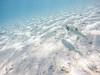 Chasing Fishies ([ dg ]) Tags: fish nature sand underwater action rarotonga puffer caustics chasing gopro