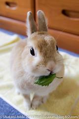 IMG_0980-1 (Rabbit's Album) Tags: pet cute rabbit bunny animals coco ペット 動物 うさぎ netherlanddwarf ココ ネザーランドドワーフ うさかつ日記 canonx7i sigma1750mmf28exdcoshsmcanon