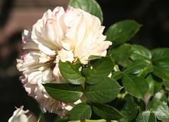 09-IMG_4329 (hemingwayfoto) Tags: rose flora pflanze eden blume blte stadtpark verblht botanik blhen weis duftend strauchrose rosengewchs
