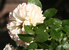 09-IMG_4329 (hemingwayfoto) Tags: rose flora pflanze eden blume blüte stadtpark verblüht botanik blühen weis duftend strauchrose rosengewächs