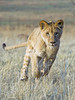 Rialda running again! (Tambako the Jaguar) Tags: wild portrait grass female cat southafrica big nikon lion young fast running lioness johannesburg lionpark actionshot d4 drygrass
