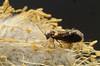 20140521-PICT0394 klein.jpg (henk.wallays) Tags: 2014 201405 aaaa arthropoda date falter henkwallays insect lepidoptera micromoths schmetterlinge vlinders closeup insecta insecte insekt macro microlepidopteraspecies nature natuur skubvlerkiges wildlife лускакрылыя тәңкәҡанатлылар күбәләктәр матылі