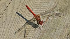 Blutrote Heidelibelle, Sympetrum sanguinieum (staretschek) Tags: libelle mnnchen sympetrumsanguineum blutroteheidelibelle segellibelle rotelibelle groslibelle
