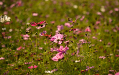 [] () Tags: flowers nature lavender taiwan insects taichung   cosmos      glistening  cornpoppy    heflowers