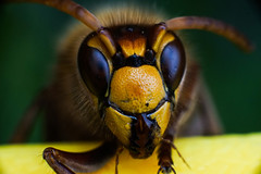 DSC01457_edited (François wry) Tags: macro jaune insect eau yeux contraste extérieur poil couleur pattes tête frelon antennes mandibule rochecorbon