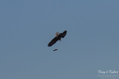 Bald Eagles Battle in the Air - 5 of 12