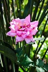 Manila 1 (Arquivo e Preservao | Lucas) Tags: flores natureza flor rosa lilas ambiental