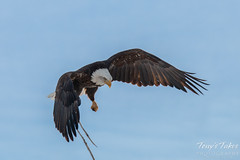 Bald Eagle launches, snaps off branch - Sequence - 4 of 13