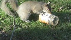Squirrel vs Peanut Butter Jar MVI_4348 (Ted_Roger_Karson) Tags: camera animal yard canon miniature back video squirrel hand outdoor powershot telephoto series hd held pocket hs compact northernillinois handheldcamera thisisexcellent squirrelseries canonpowershotsx280hs