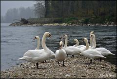 Ticino (alfvet) Tags: birds river ticino nikon fiume ngc natura uccelli swans npc acqua inverno cigni parcodelticino veterinarifotografi