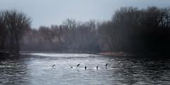 Se poser/Landing/Att landa [Explore] (Elf-8) Tags: tree bird water fog forest geese goose tiver