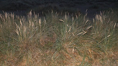 European beachgrass (Ammophila arenaria) (shadowshador) Tags: life plants plant wales european wildlife north plantae botany biology poaceae scientific taxonomy beachgrass arenaria classification liliopsida magnoliophyta ammophila eukaryota spermatophyta tracheobionta poales commelinidae archaeplastida neomura poanae