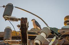 Cooper's Hawk on a Pole (wayne kimbell) Tags: santabarbara pentax telephonepole telephonewires sharpshinnedhawk coopershawk accipiter pentaxda55300mm k5ii pentaxk5ii