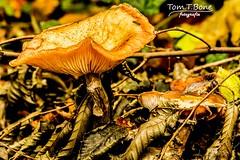Pilz aus vergangenen zeiten (Tom.T.Bone) Tags: autumn orange brown mushroom leaves canon eos laub herbst natur fungi foliage fungus l 40 braun bltter 70200 pilz f40 70200mm apsc 700d